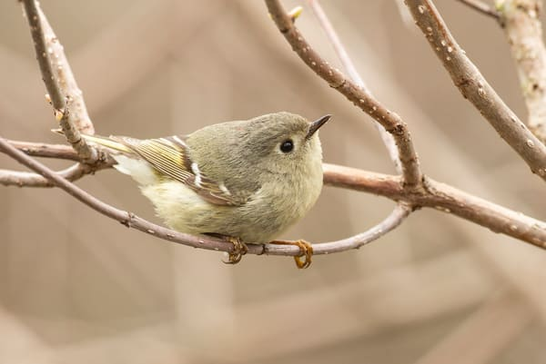 Ruby Crowned Kinglet 1 Photography Art | Deb Little Photography