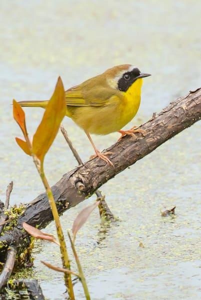 Common Yellowthroat Warbler 2 Photography Art | Deb Little Photography