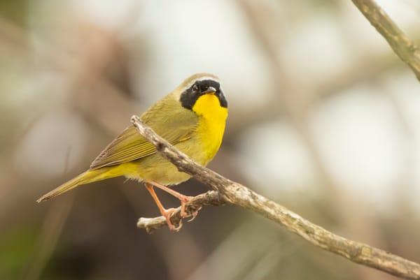 Common Yellowthroat Warbler 1 Photography Art | Deb Little Photography