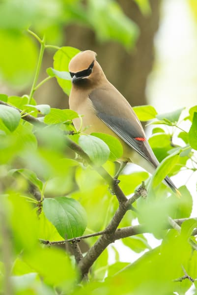 Cedar Waxwing 6 Photography Art | Deb Little Photography