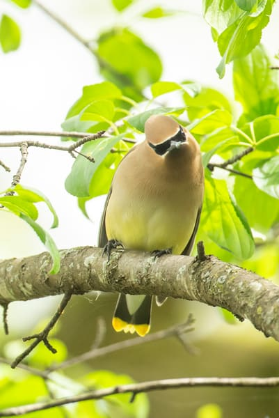 Cedar Waxwing 8 Photography Art | Deb Little Photography