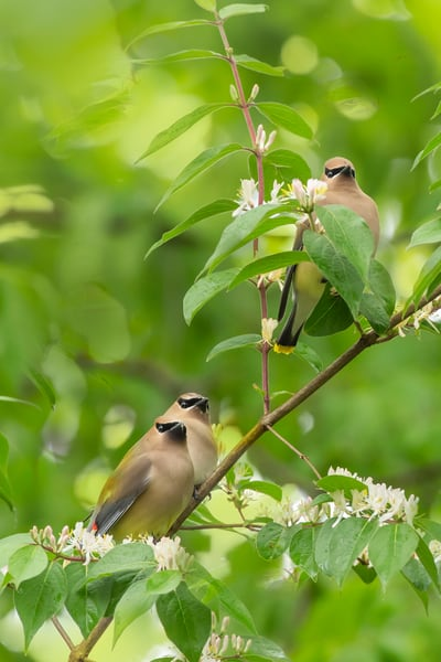 Cedar Waxwings 10 Photography Art | Deb Little Photography