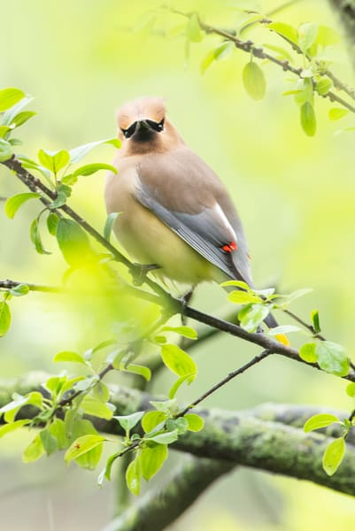 Cedar Waxwing 12 Photography Art | Deb Little Photography