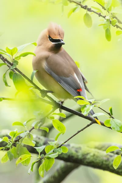Cedar Waxwing 15 Photography Art | Deb Little Photography