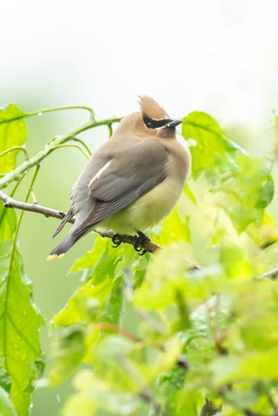 Cedar Waxwing 13 Photography Art | Deb Little Photography