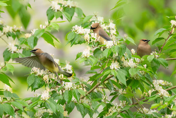 Cedar Waxwings 16 Photography Art | Deb Little Photography
