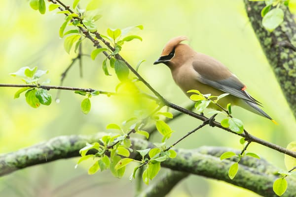 Cedar Waxwing 18 Photography Art | Deb Little Photography