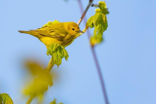 Yellow Warbler 5 Photography Art | Deb Little Photography