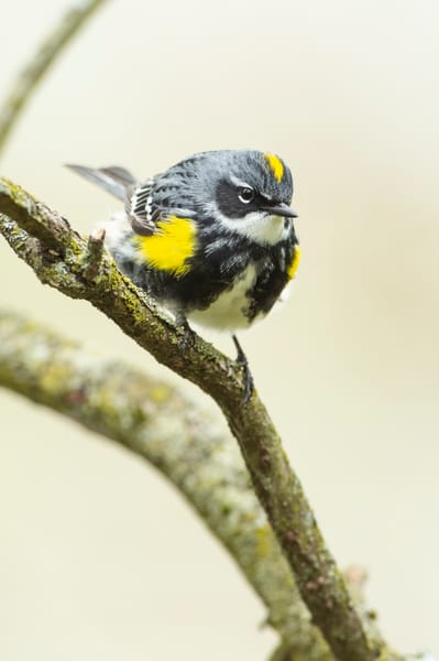 Yellow Rumped Warbler 7 Photography Art | Deb Little Photography