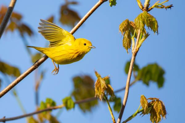 Yellow Warbler 3 Photography Art | Deb Little Photography