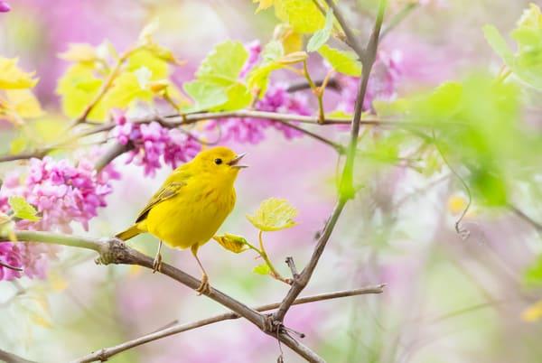 Yellow Warbler 1 Photography Art | Deb Little Photography