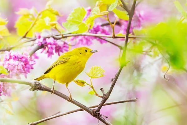 Yellow Warbler 2 Photography Art | Deb Little Photography