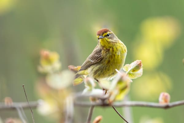 Palm Warbler 3 Photography Art | Deb Little Photography