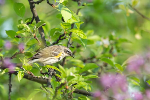 Yellow Rump Warbler 6 Photography Art | Deb Little Photography