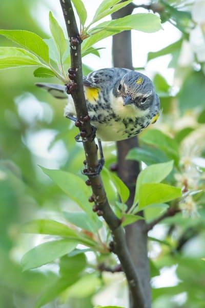 Yellow Rump Warbler 5 Photography Art | Deb Little Photography