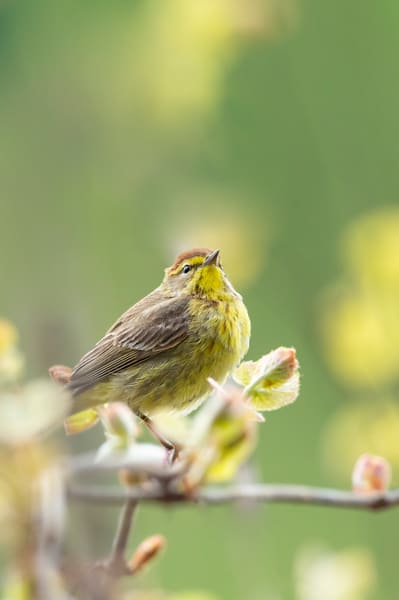 Palm Warbler 1 Photography Art | Deb Little Photography