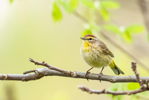 Palm Warbler 2 Photography Art | Deb Little Photography