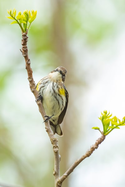 Yellow Rump Warbler 2 Photography Art | Deb Little Photography