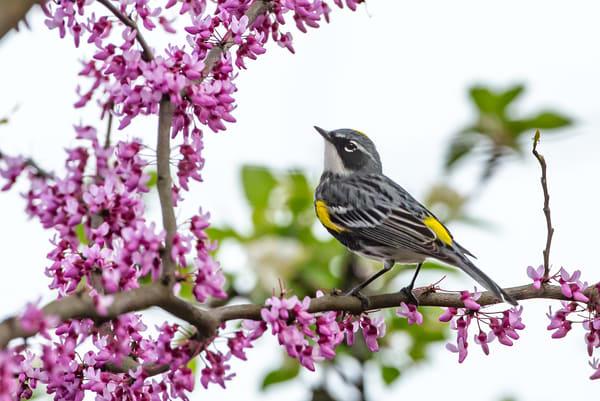 Yellow Rump Warbler 4 Photography Art | Deb Little Photography