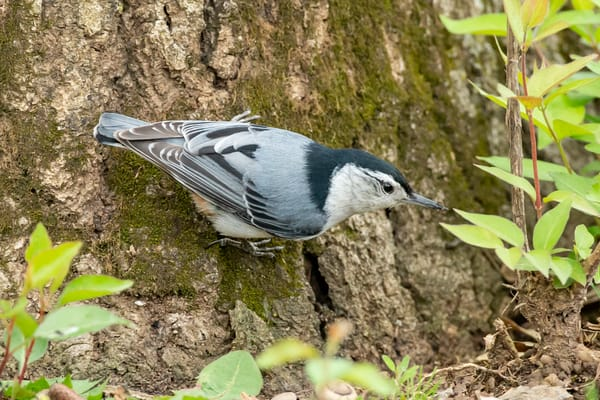 White Breasted Nuthatch 1 Photography Art | Deb Little Photography
