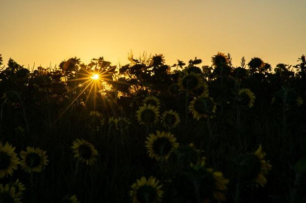 Morning Sunflower Art | Brandon Hirt Photo