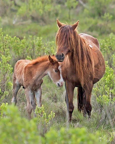 wild, horse, mare, foal, spring, chincoteague, shaggy