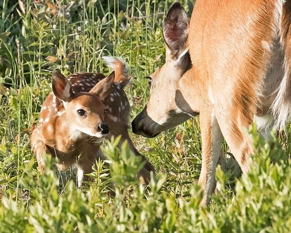 deer, mother, fawn, shenandoah, skyline drive