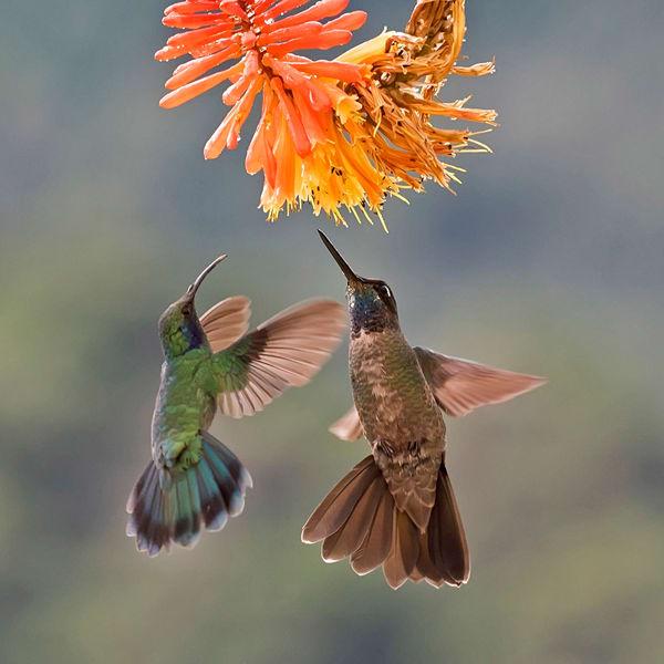2 Hummingbirds