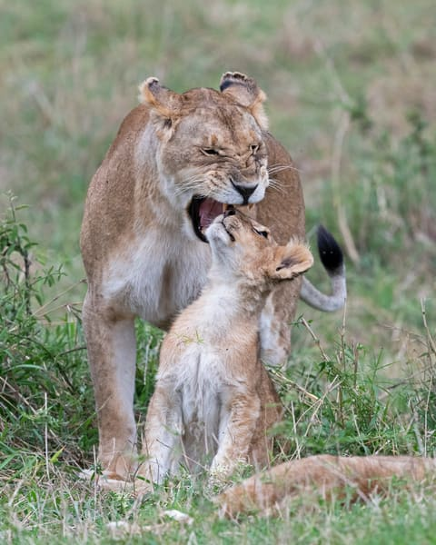 Curious, Lion, Cub, Part 1