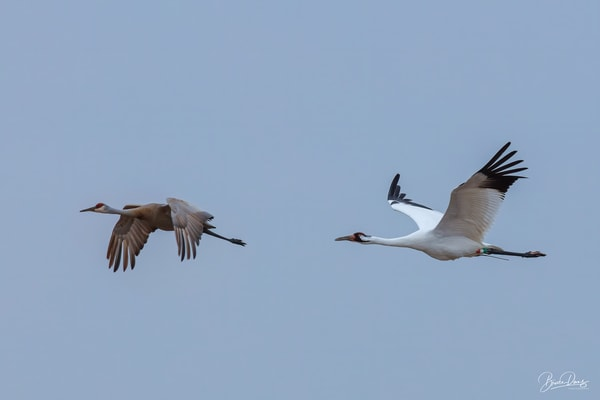 Sandhill and Whooping Cranes in Flight