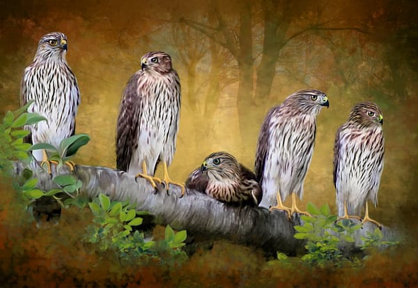 Five Hawks is a painting of 5 young hawks on a branch/ Shop fine art photography by An Artist's View Photography