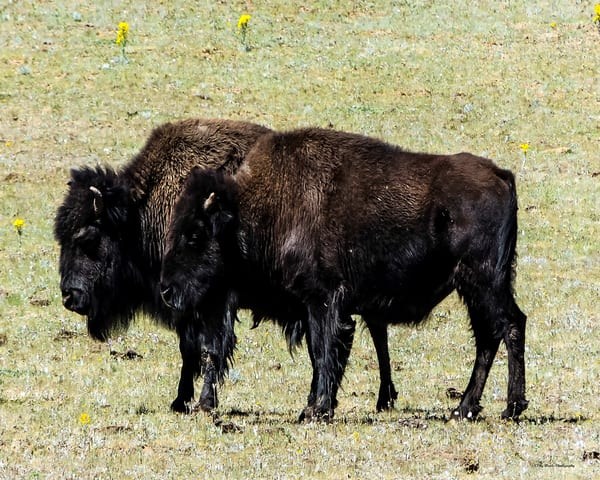 Where The Buffalo Roam Photography Art | N2 the Woods Photography - Nature and Wildlife Artwork