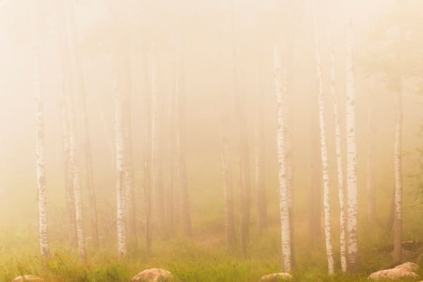 Birch Trees 1 Photography Art | Kurt Gardner Photogarphy