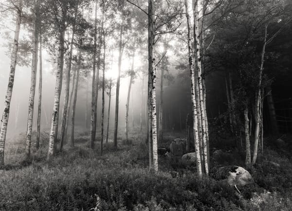 Birch Trees Bw Photography Art | Kurt Gardner Photogarphy Gallery