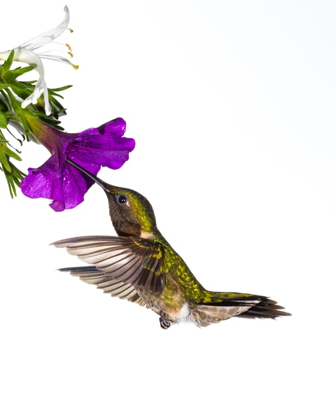 Hummingbird Gathering Nectar Photography Art | Matt Cuda Nature Photography