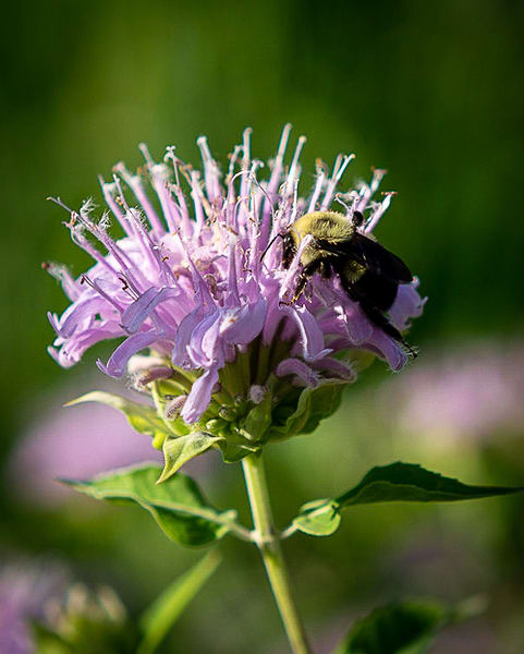 tasting-the-bee-balm