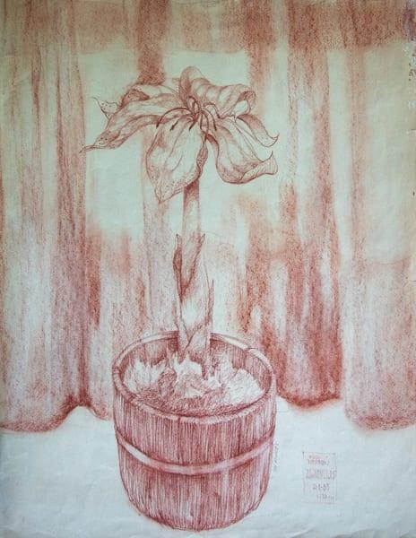 Amaryllis, Conte Crayon On Paper, 1983 Art | Roost Studios, Inc.