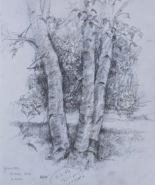 Birches, Pencil Sketch, 1992 Art | Roost Studios, Inc.
