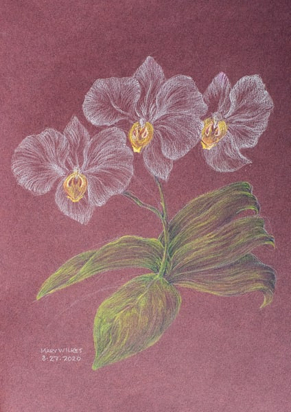 Phaleanopsis, Colored Pencil, March 2020 Art | Roost Studios, Inc.