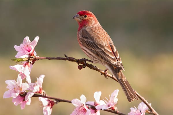 House Finch Perched on a Peach Tree