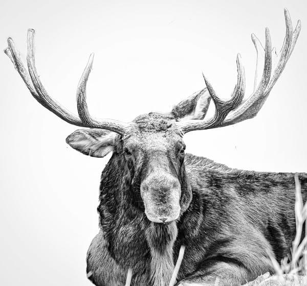 Bison, Big Horns & Bull Elk &Moose