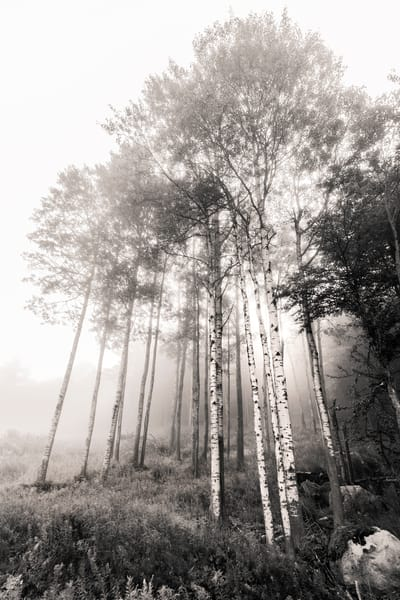 Birch Trees V4 Photography Art | Kurt Gardner Photogarphy