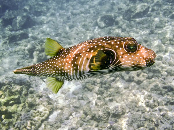 White Spotted Puffer Fish Photography Art | Bird In Paradise