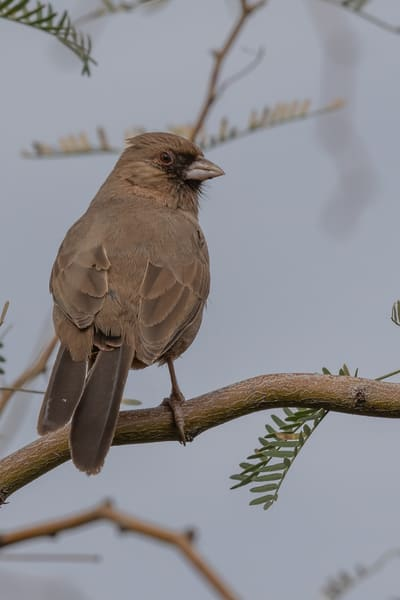 Alberts Towhee perched on a branch
