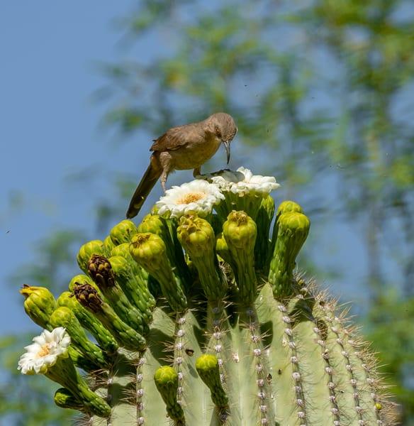Curve billed Thrasher on a Saguaro Blossom