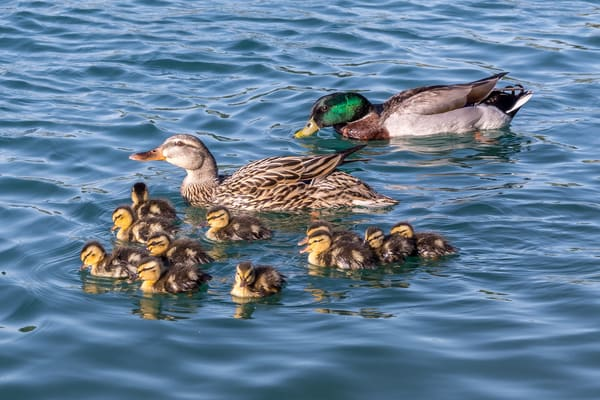 Mallard family with 11 ducklings