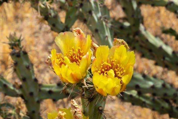 Yellow Cholla Blossom