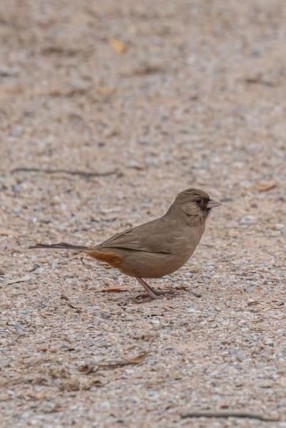 Alberts Towhee foraging for food