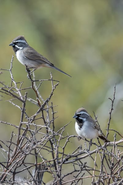 Black Thoated Sparrows