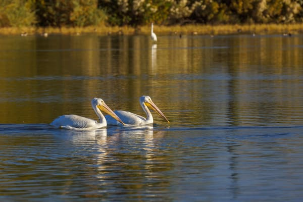 Snowbirds  White Pelicans